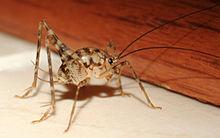 220px-Rhaphidophoridaecricket.jpg