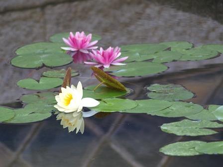 20140909 倉敷大原美術館庭園の睡蓮