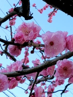 桜1403