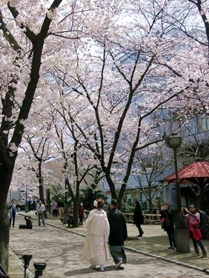 桜下の新郎新婦1404