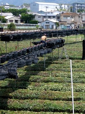 茶畑覆い撤去1405