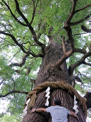 新熊野神社楠木1409