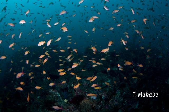 伊豆海洋公園のキンギョハナダイの群れ