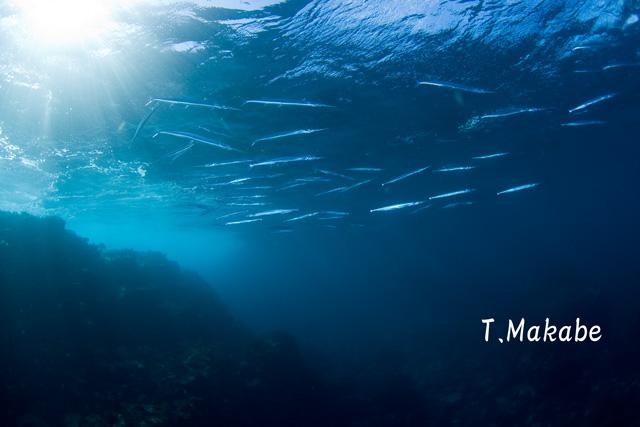 伊豆海洋公園のオキザヨリ