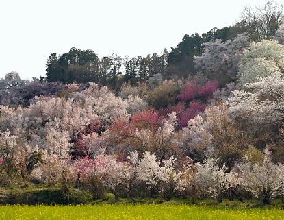 140415hanamiyama07p.jpg