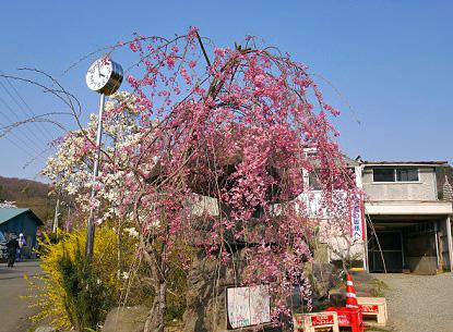 140415hanamiyama14.jpg