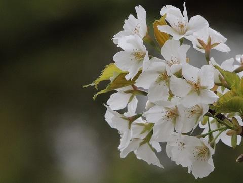 140402 桜