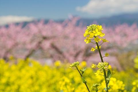 140417 菜の花