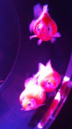 日本橋コレド金魚②2014.8.13
