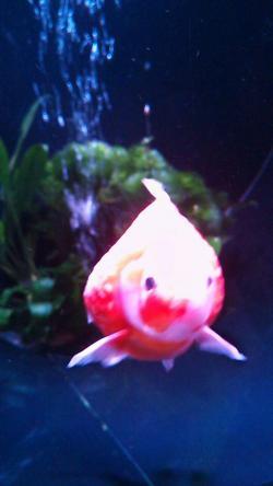 日本橋コレド金魚③2014.8.13