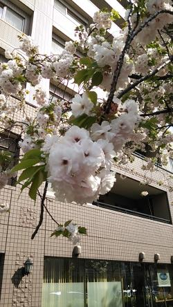 桜新町八重桜①2014.4.13