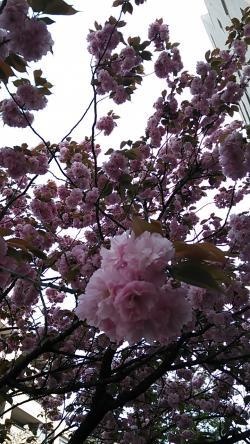 桜新町八重桜②2014.4.13