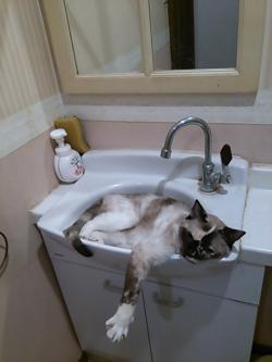 シンク猫マーブル2014.8.5