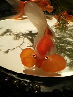 日本橋コレド金魚④2014.8.13
