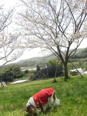 2014.4.9桜撮影 011