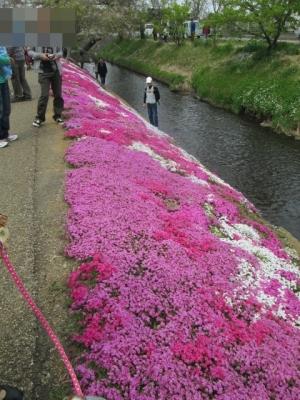 2014芝桜祭り 006