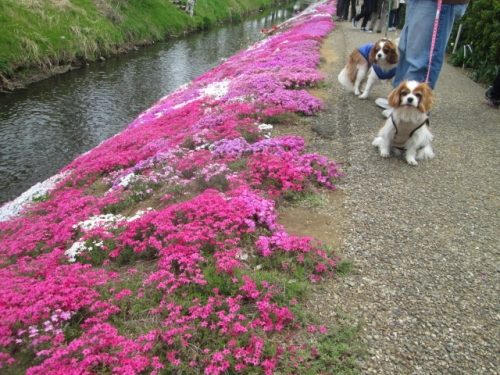 2014芝桜祭り 003