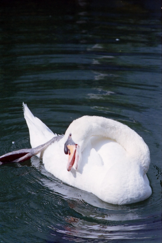 六角堂の白鳥