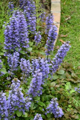 庭ガーデンアジュガ