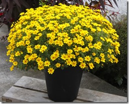 bidens_yellow_sunshine_250