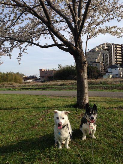 桜とわんころず