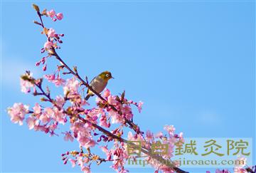 20140223河津桜の写真2