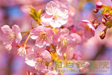 20140223河津桜の写真1