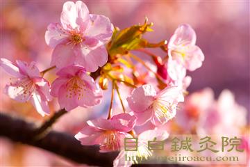 20140223河津桜の写真5