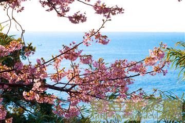 20140223河津桜の写真3