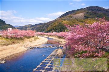 20140223河津桜の写真4
