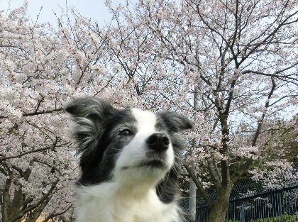 140401桜5