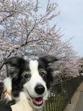 140401桜7