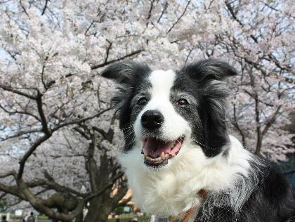 140401桜12