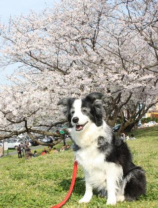 140401桜13