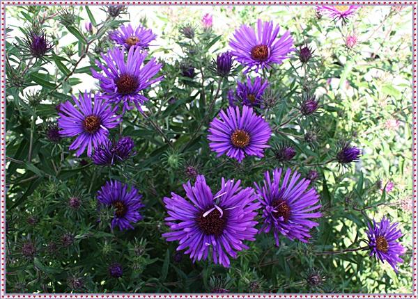 IMG_1111野菊(紫色)