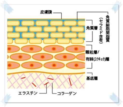 角質細胞脂質