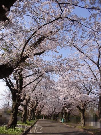 2014桜_5