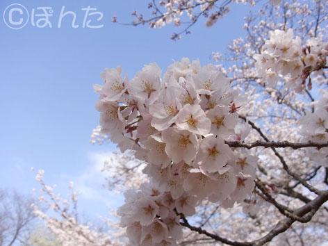 2014桜_3