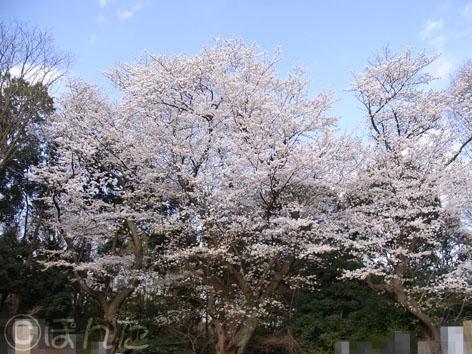 2014桜_2