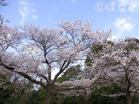 2014桜_1