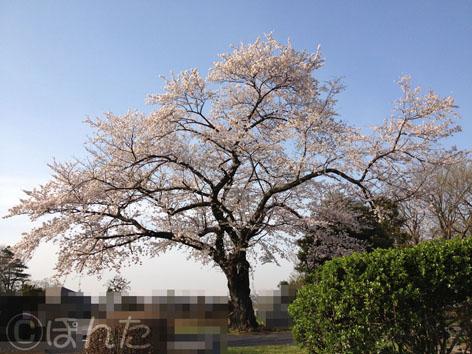 2014桜_7