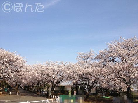 2014桜_6