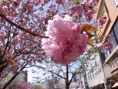 2014桜2_4