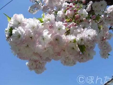 2014桜2_3