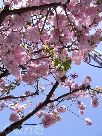 2014桜2_2