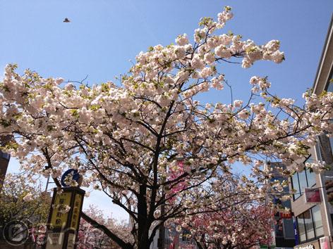2014桜2_1