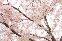 20140226桜1