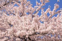 20140226桜2