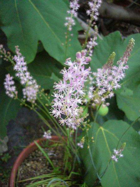 ツルボの花 26.8.28