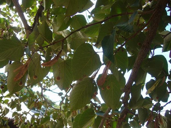 不思議な木 菩提樹 26.9.18
